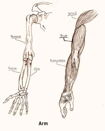 De armen en de benen